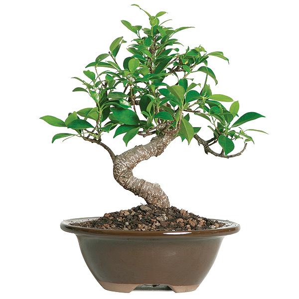 Golden Gate Ficus Care