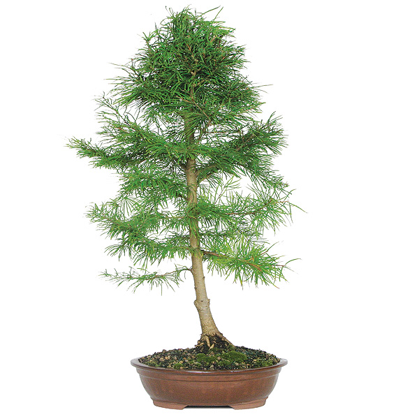 golden-larch-bonsai-tree.jpg