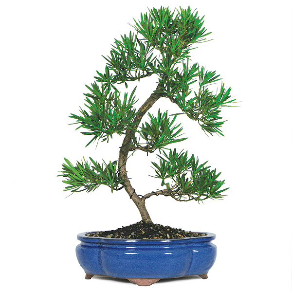 Podocarpus bonsai care for Bonsai indoor