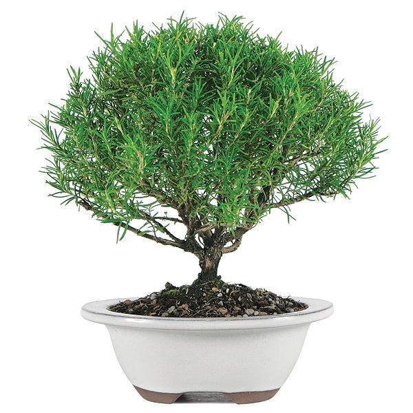 giá cây hương thảo1