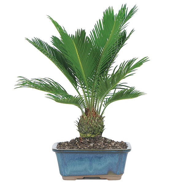 Sago Palm Bonsai Care on House With Indoor Pool