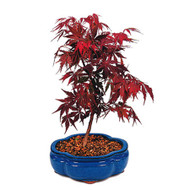 Red Maple Japanese Bonsai Tree (JRM01)