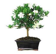 Gardenia (Outdoor)