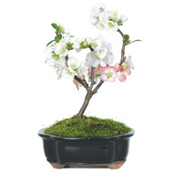 Japanese Flowering Quince (Outdoor)