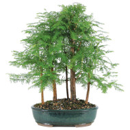 Dawn Redwood 5 Tree Grove Bonsai (Outdoor)