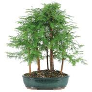 Dawn Redwood 5 Tree Grove Bonsai (Outdoor)