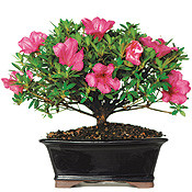 Bonsai Tree - Flowering Satsuki Azalea (AZ07) (Outdoor)