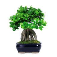 Ginseng Grafted Ficus Bonsai (Indoor)