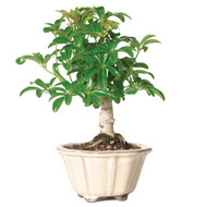 Hawaiian Umbrella Bonsai Tree (Indoor - ARB07)