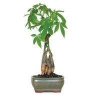 Money Tree (Indoor)