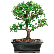 Dwarf Jade Tree (Indoor)