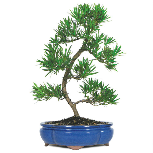 Podocarpus indoor bonsai outlet - Tell tree dying order save ...