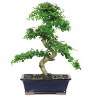 Fukien Tea Bonsai Tree (Indoor)