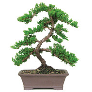 green mound juniper outdoor bonsai tree