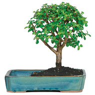 Dwarf Jade Bonsai Tree in Water Pot (Indoor - WP08)