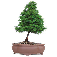 Dwarf Cryptomeria (Outdoor)