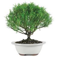 Rosemary (Indoor)