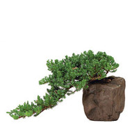 Juniper Bonsai Tree in Rock Pot (Outdoor)