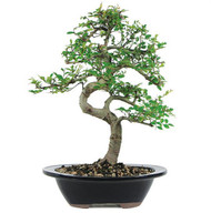 Chinese Elm Bonsai (Indoor/Outdoor)
