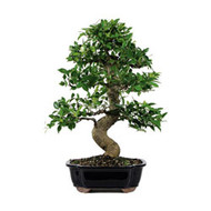 Golden Gate Ficus Bonsai Tree (ggf10)