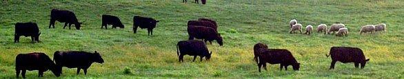 briarmead-cow-banner586.jpg