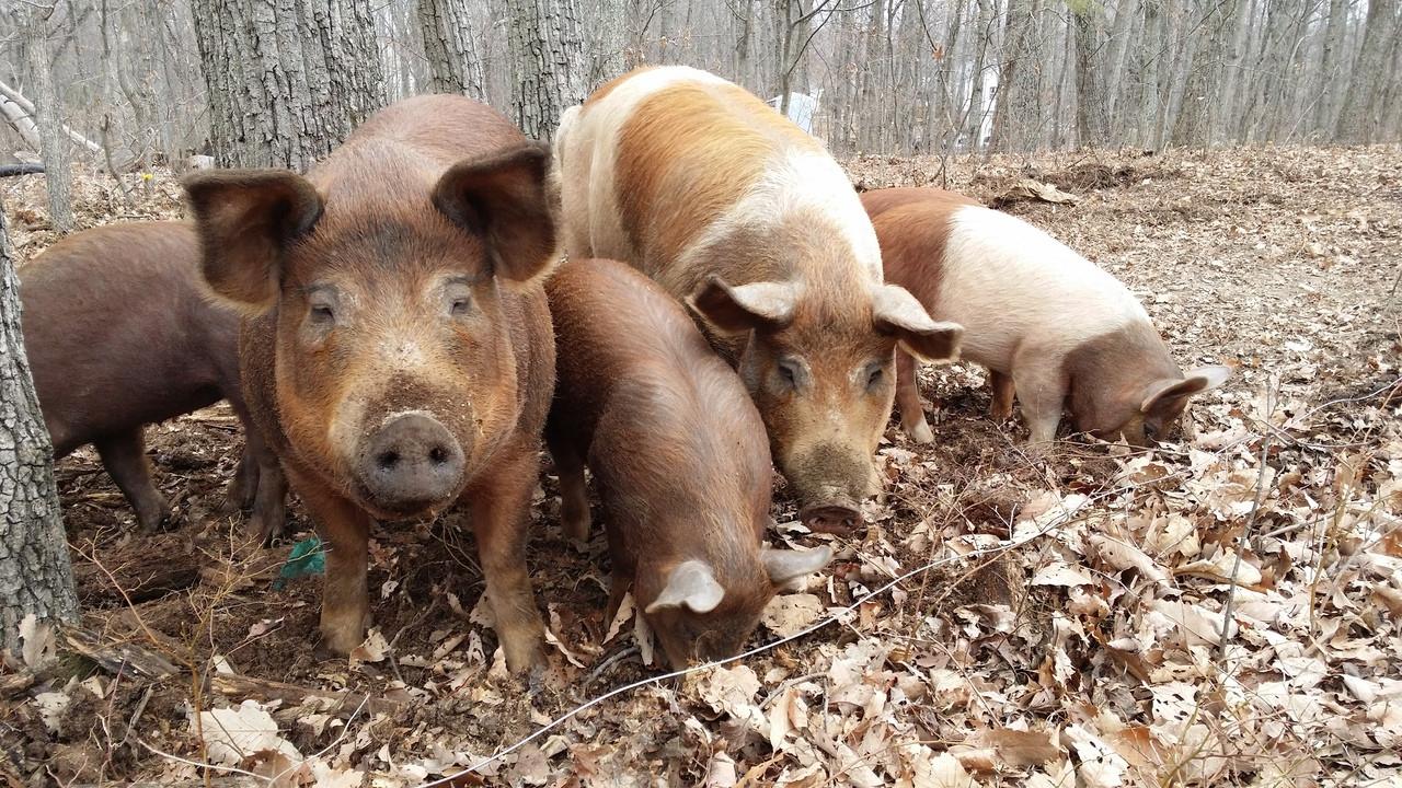 Hambleton Pastured Pork