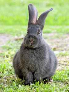 Silver Fox Rabbit  (courtesy of Raising Rabbits to Survive).