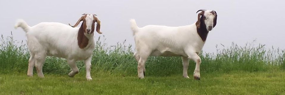 Boer goats, courtesy American Boer Goat Association