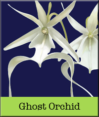 ghost-orchid.jpg