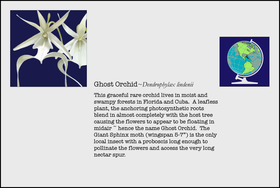info-ghost-orchid.jpg