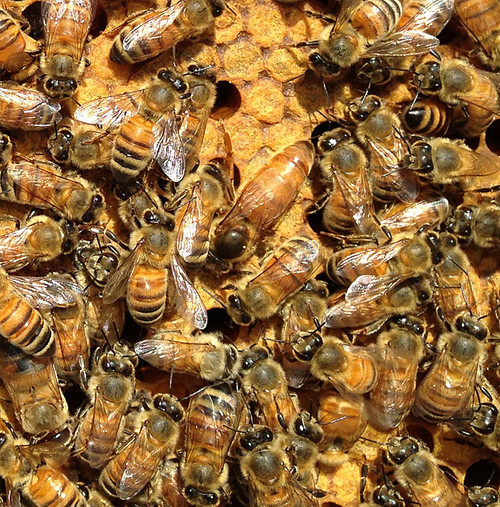 Package of Bees (3lbs) - Late March 2017 Delivery - Sold Out