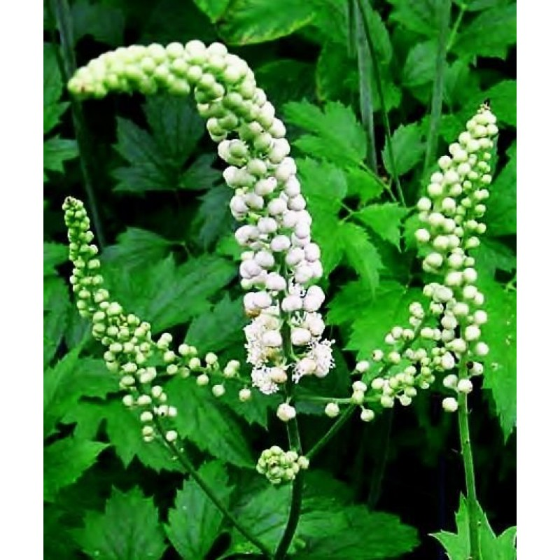 black-cohosh-luminescents.jpg