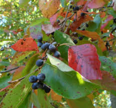 blackgum-leaves.jpg