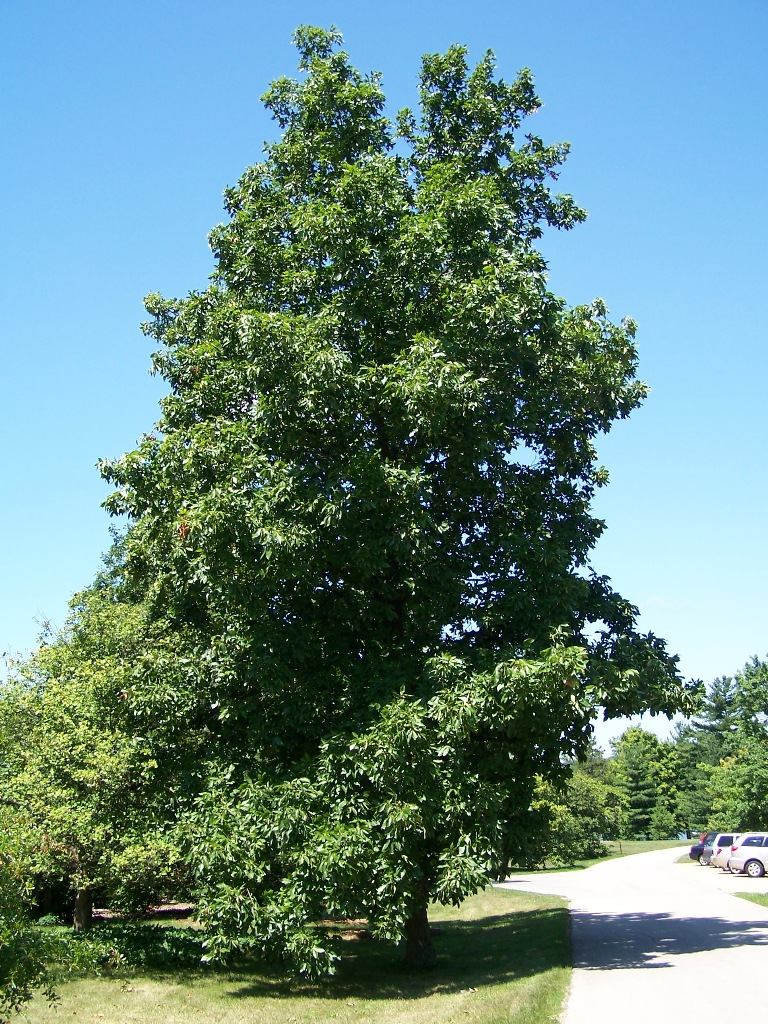 hickory-tree.jpg