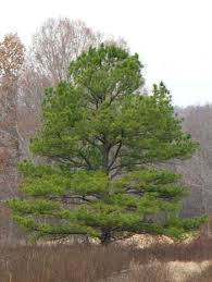 Image result for loblolly pine tree