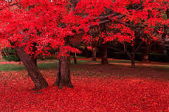 Image result for scarlet red maple