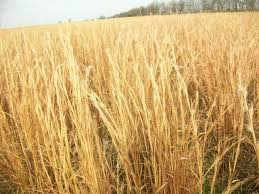 Image result for broom sedge