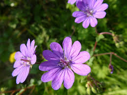 Image result for doves foot geranium