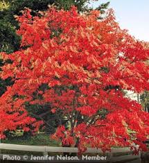 Image result for sourwood tree