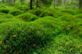 Image result for hair cap moss
