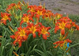 Image result for orange daylily