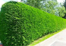 Image result for northern privet