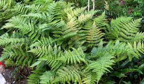 Image result for autumn fern