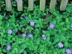 Image result for creeping myrtle
