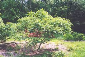 Image result for Rhus Glabra Tree