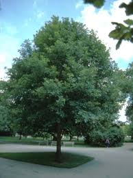 Image result for swamp white oak