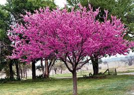 Image result for redbud
