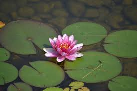 Image result for lily pads