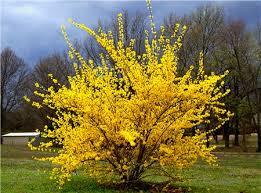 Image result for forsythia