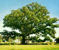 Image result for white oak tree